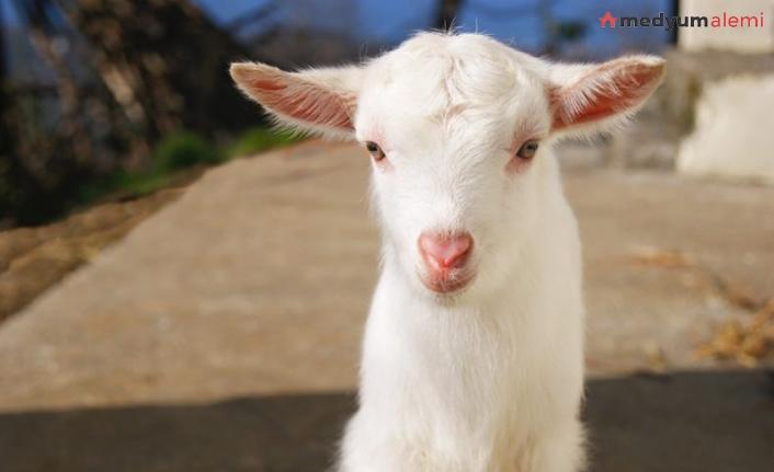Rüyada Keçi görmek ne demek? İslami ve Dini Anlamı