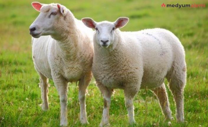 Rüyada Koyun görmek ne demek? İslami ve Dini Anlamı